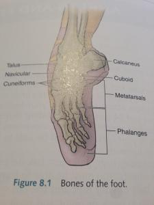 Bones of the feet